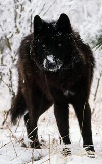 Louve noire de Sibérie