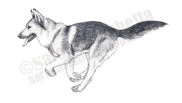 Pin dessin chien berger allemand pictures on pinterest - Coloriage berger allemand ...