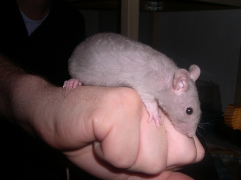 reproduction rat adulte