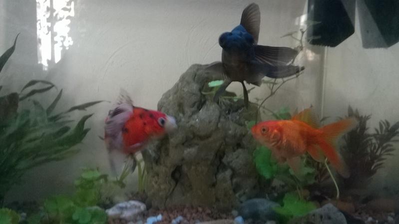 Quelle vari t pour mes poissons for Poisson rouge a donner