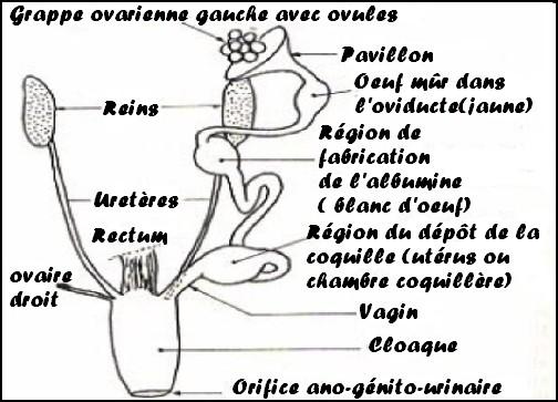 La fécondation des oeufs. dans Reproduction appare10