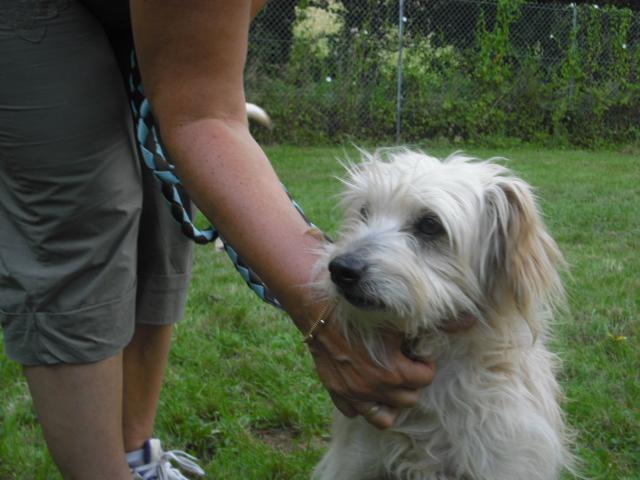 LOULOU petit chien blanc de 8 ans - Aunay sur Odon 14