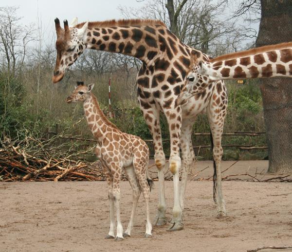 Une nouvelle naissance de girafe en allemagne for Prix d une girafe a poncer