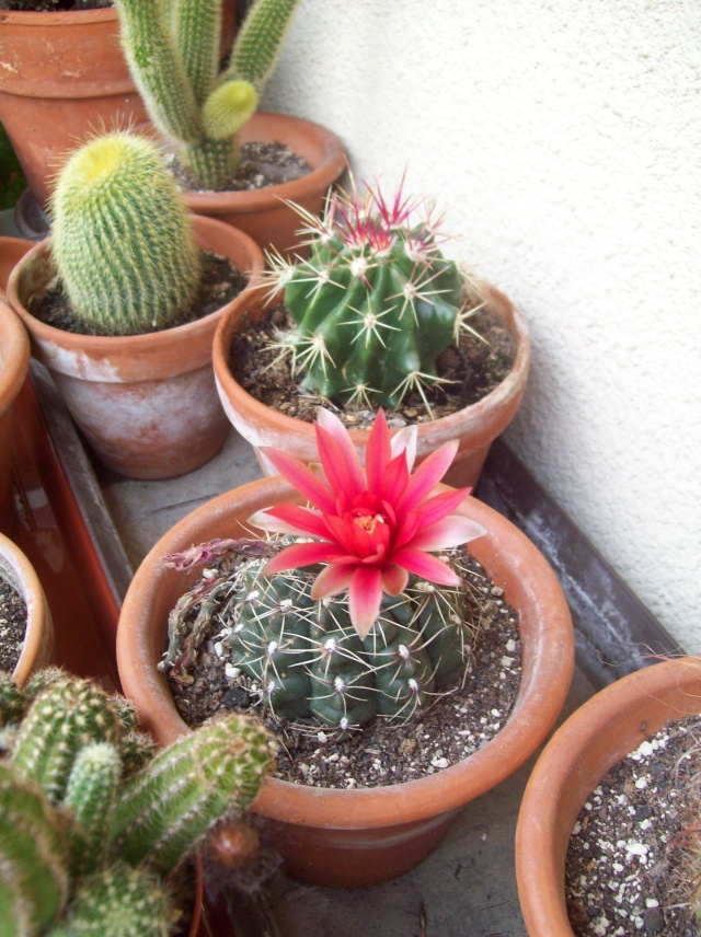 Ecco alcune mie piante grasse in fiore