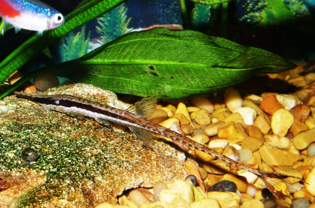 ... scolopacina common name s twig catfish stick catfish whiptail catfish
