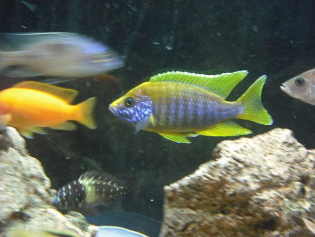 lemon jake peacock cichlid - photo #18