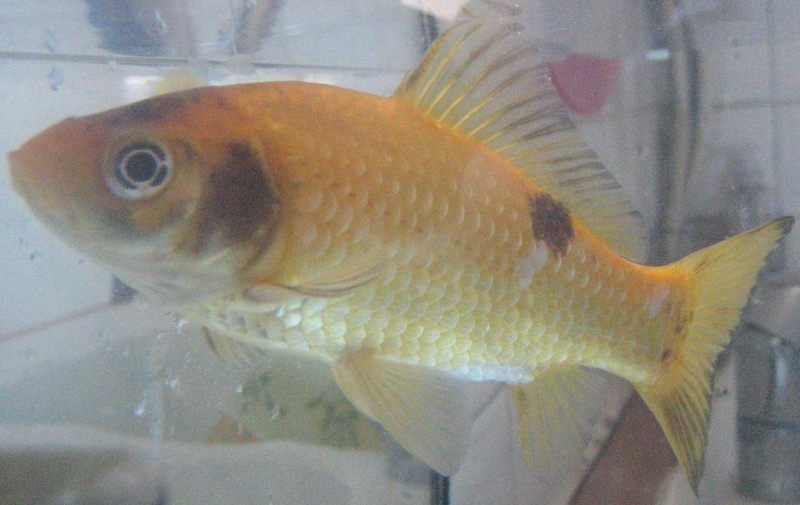 Help: Taches noirs sur mon poisson Peter!