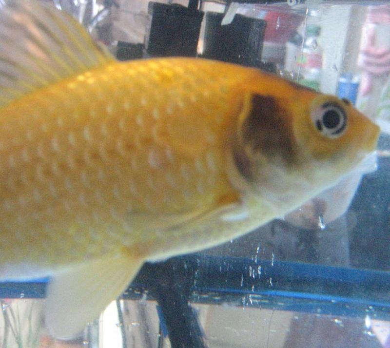 Help taches noirs sur mon poisson peter for Aquarium poisson rouge sans pompe