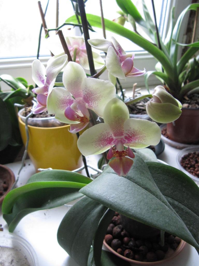 floraison orchid es. Black Bedroom Furniture Sets. Home Design Ideas
