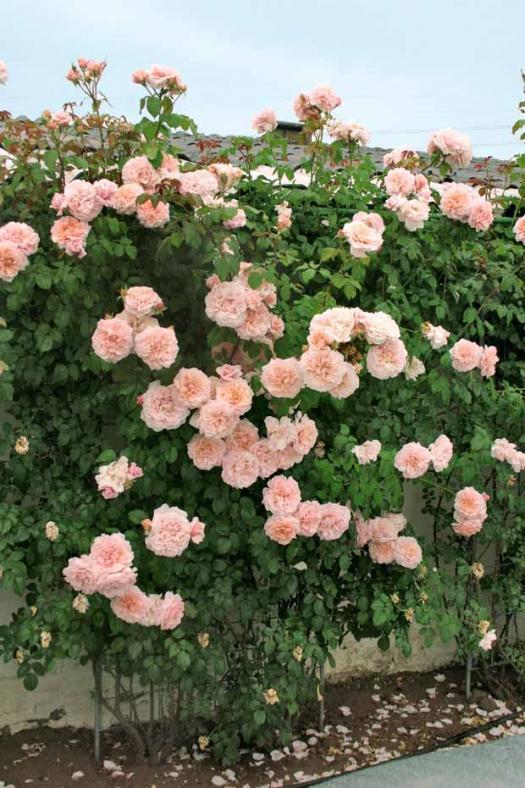 rose_d10.jpg